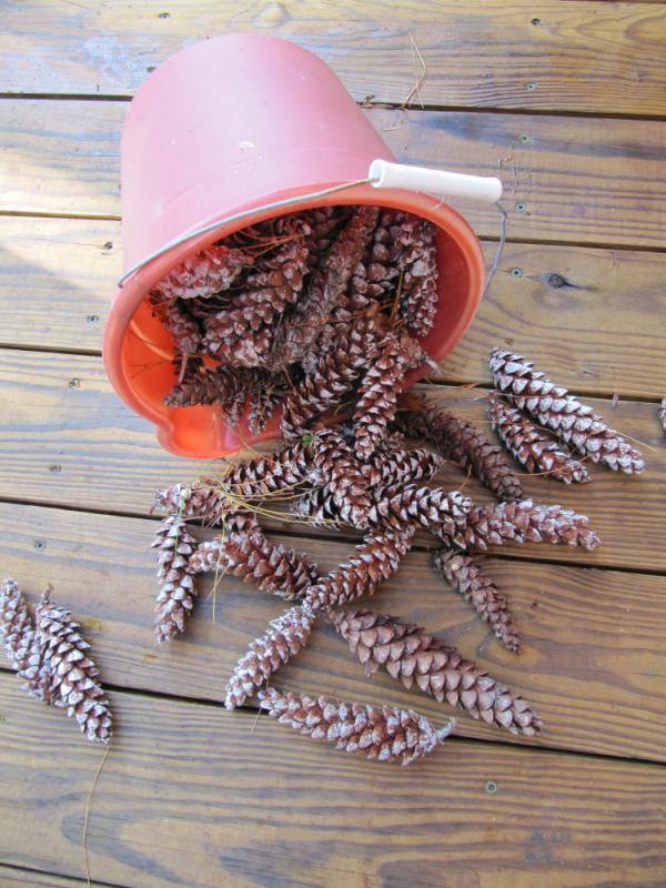 Bucket of pinecones