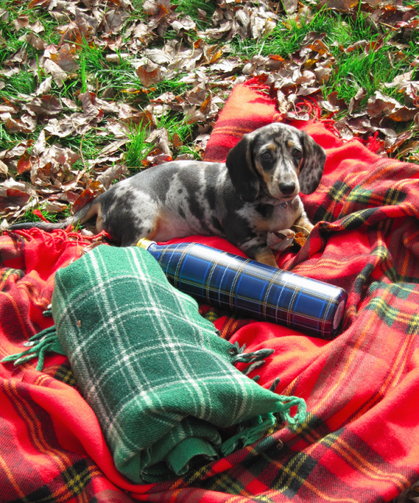 Patches the Dachshund
