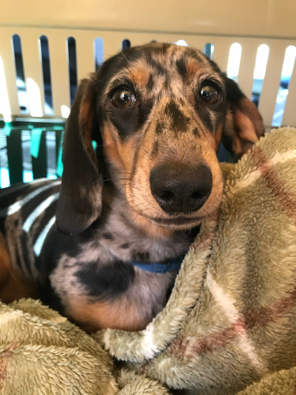 Dachshund puppy in a small kennel